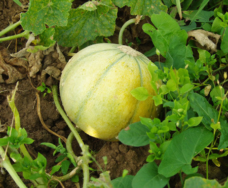Les melons - Quand cueillir un melon ...