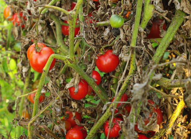 Traitements bio contre le mildiou de la tomate - Femme Actuelle