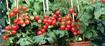 Les tomates en pot - Planter des tomates cerises ...